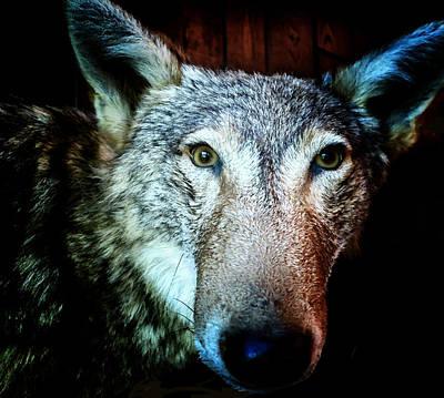 Photograph - Urban Coyote - The Lone Hunter by Patricia Januszkiewicz