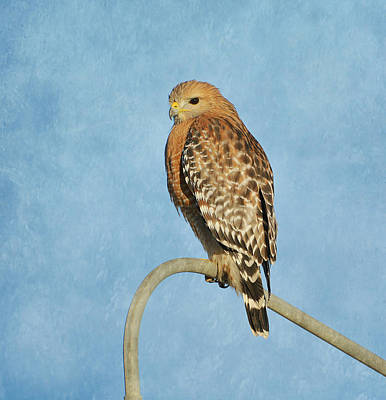 Red Shouldered Hawk Photograph - Urban Predator by Fraida Gutovich
