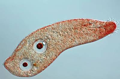 Unicellular Photograph - Uroleptopsis Protozoan by Frank Fox