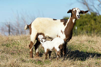 Us, Tn Domestic Goat Nurses Kid Print by Trish Drury