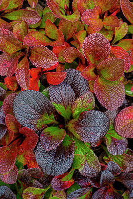 Dalton Highway Photograph - Usa, Alaska Alpine Bearberry Leaves by Jaynes Gallery