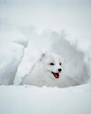 Arctic Fox Photograph - Usa, Alaska Arctic Fox In Winter Coat by Jaynes Gallery