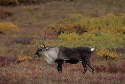 Usa, Alaska, Bull Caribou, Denali Art Print