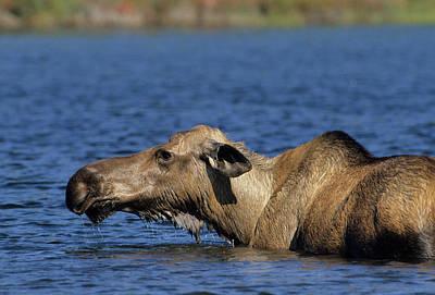 Usa, Alaska, Cow Moose At Pond, Denali Art Print