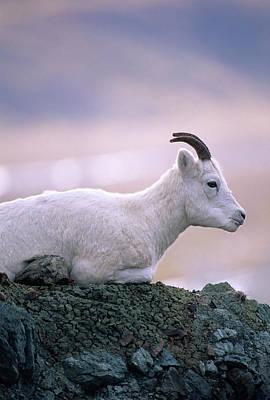 Usa, Alaska, Dall Sheep, Ewe, Denali Print by Gerry Reynolds