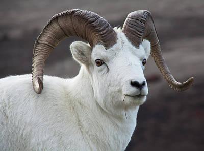 Big Horn Sheep Photograph - Usa, Alaska, Denali, National Park, Big by John Ford
