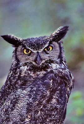 Usa, Alaska, Great Horned Owl Art Print by Gerry Reynolds
