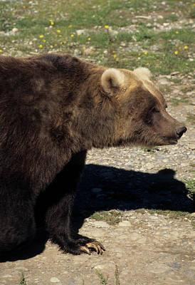 Usa, Alaska, Grizzly Bear, The Alaska Art Print