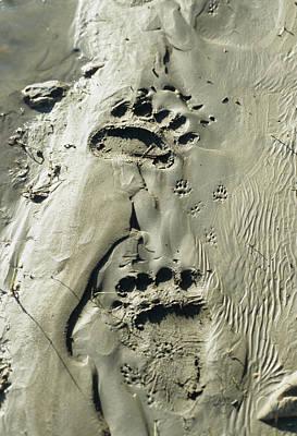 Reynolds Photograph - Usa, Alaska, Grizzly Bear Tracks by Gerry Reynolds