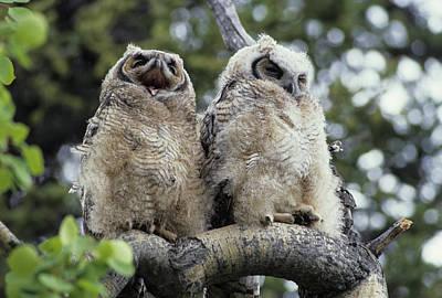Usa, Alaska, Juvenile Great Horned Owl Art Print by Gerry Reynolds