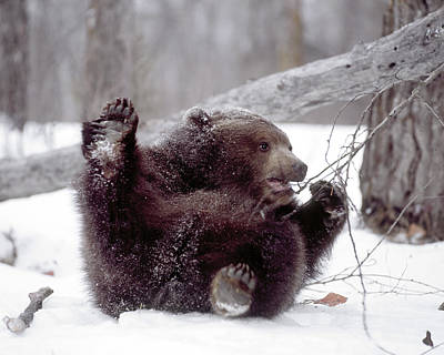 Grizzly Bear Photograph - Usa, Alaska Juvenile Grizzly Plays by Jaynes Gallery