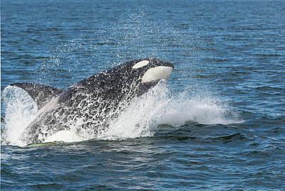 Usa, Alaska Orca Whale Breaching Credit Art Print by Jaynes Gallery