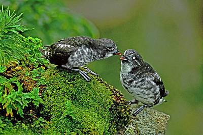 Auklets Photograph - Usa, Alaska, Pribilof Islands, St by Jaynes Gallery