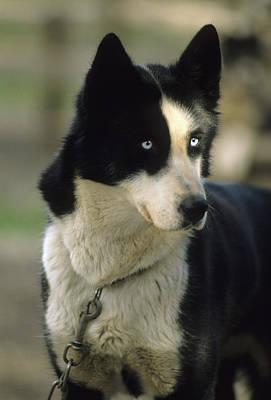 Usa, Alaska, Sled Dog, Dog Sledding Art Print