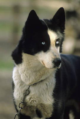 Usa, Alaska, Sled Dog, Dog Sledding Art Print by Gerry Reynolds