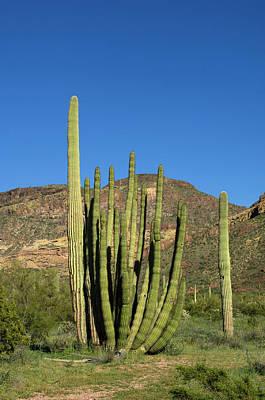 Usa, Arizona, Ajo, Organ Pipe Cactus Art Print by Peter Hawkins
