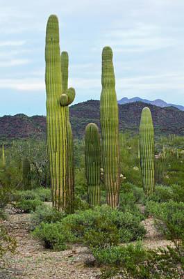 Usa, Arizona, Organ Pipe Cactus Art Print by Bernard Friel