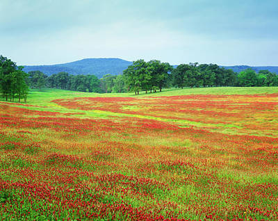 Arkansas Photograph - Usa, Arkansas Blooming Scarlet Clover by Jaynes Gallery