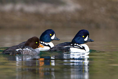 Goldeneye Photograph - Usa Barrow's Goldeneye (bucephala by Gary Luhm