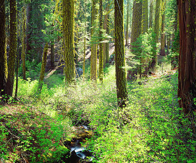 Usa, California A Lush Forest Art Print by Jaynes Gallery
