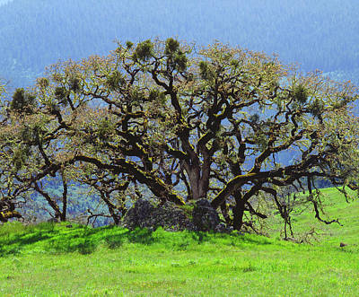 Large Oak Tree Photograph - Usa, California An Oak Tree by Jaynes Gallery