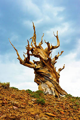 Bristlecone Photograph - Usa, California, Ancient Bristlecone by Bernard Friel