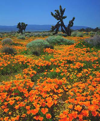 Abstract California Poppies Photograph - Usa, California, California Poppies by Jaynes Gallery