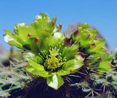 Valley Of The Moon Photograph - Usa, California, Cholla Cactus by Jaynes Gallery