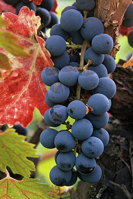 Blue Grapes Photograph - Usa, California Detail Of Cabernet by Jaynes Gallery