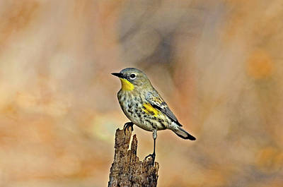 Yellow Rumped Warbler Photograph - Usa, California, Los Angeles, Santa by Jaynes Gallery