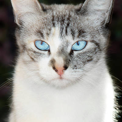 Siamese Photograph - Usa, California Lynx Point Siamese Cat by Jaynes Gallery