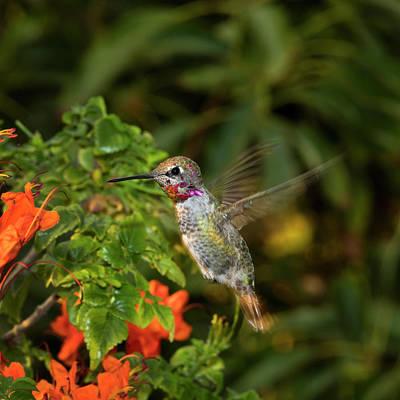 Annas Hummingbirds Wall Art - Photograph - Usa, California Male Anna's Hummingbird by Jaynes Gallery