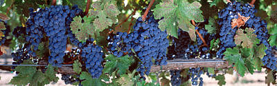 Grapevine Photograph - Usa, California, Napa Valley, Grapes by Panoramic Images