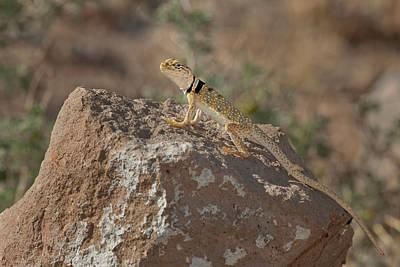 Collared Lizard Photograph - Usa, California, Redding Canyon by Jaynes Gallery