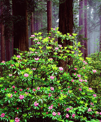 Usa, California, Redwood National Park Print by Jaynes Gallery