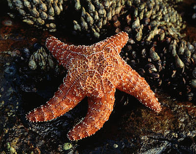 Usa, California, San Diego, A Starfish Art Print by Christopher Talbot Frank