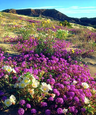 Usa, California, Sand Verbena And Dune Art Print by Jaynes Gallery