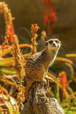 Meerkats Photograph - Usa, California, Santa Barbara by Jaynes Gallery