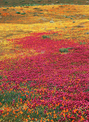 Tickseed Photograph - Usa, California, View Of Owl's Clover by Stuart Westmorland