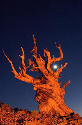 Bristlecone Pine Photograph - Usa, California, White Mountains, Moon by Jaynes Gallery