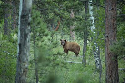 Colorado Wildlife Wall Art - Photograph - Usa, Colorado A Cinnamon Phase Black by Jaynes Gallery