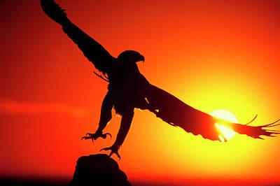 Usa, Colorado A Falconer's Golden Eagle Art Print