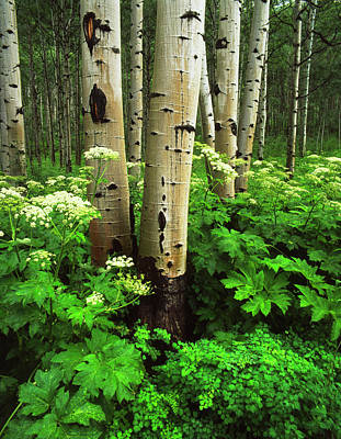 White River Photograph - Usa, Colorado, Aspen Trees (populus by Adam Jones