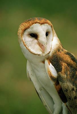 Barn Owl Photograph - Usa, Colorado, Broomfield by Jaynes Gallery