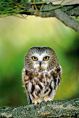 Whet Owl Photograph - Usa, Colorado Close-up Of Northern by Jaynes Gallery
