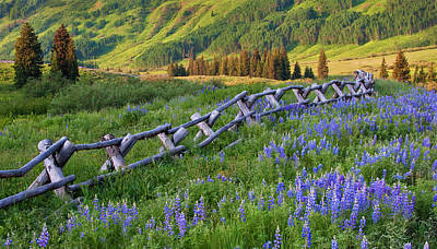 Usa, Colorado Lupines And Split Rail Print by Jaynes Gallery