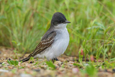 Kingbird Photograph - Usa, Colorado, Rocky Mountain Arsenal by Jaynes Gallery
