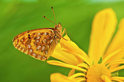 Skipper Photograph - Usa, Colorado Skipper Butterfly by Jaynes Gallery