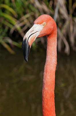 Southern States Photograph - Usa, Florida American Flamingo by Michael Defreitas