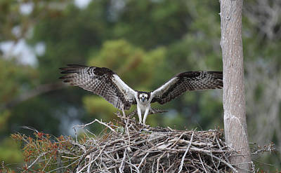 Osprey Florida Photograph - Usa, Florida, Blue Cypress Lake by Jaynes Gallery